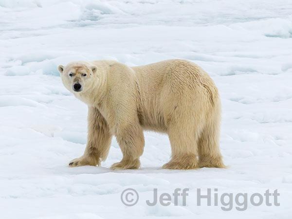 Polar Bear - £40.00
