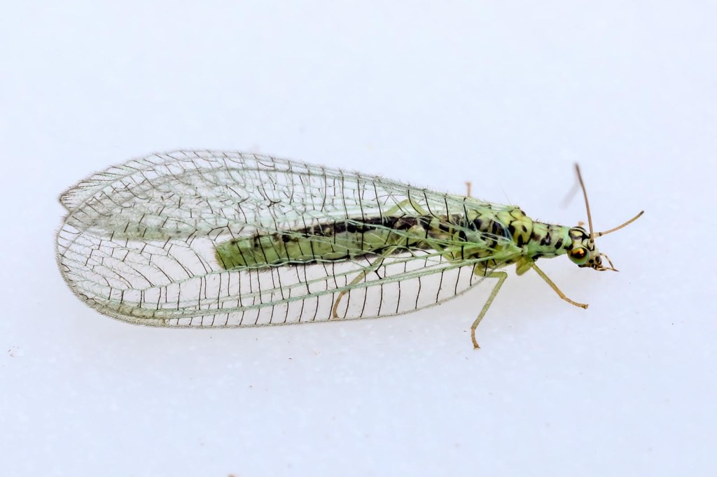 Lacewing © Jeff Higgott