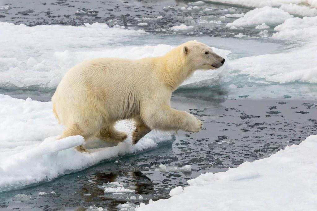 Polar Bear, Svalbard ©Jeff Higgott